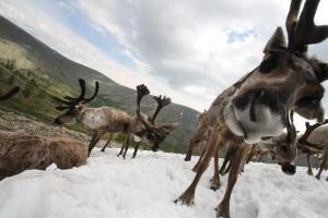 Dhuka reindeer